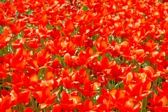 Texture of red tulips Stock Photo