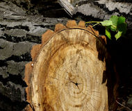 Texture and the relief of bark  tree Stock Photo