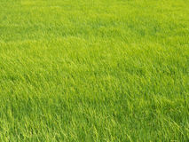 Texture of rice field Stock Image