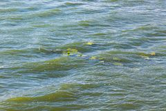 The texture of river water with waves and leaves of water lily_ stock image