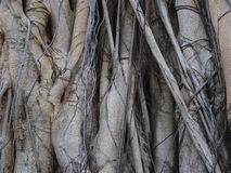 Texture of root background Stock Photos