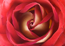 Texture of rose Stock Photography