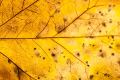Texture with rotten leaves with fibers Royalty Free Stock Photography