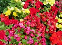 Texture rouge, jaune et violette de fleurs Image libre de droits