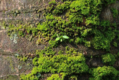 Texture of Rough Dark Brown Coconut Tree Trunk with Vibrant Green Moss and Little Leaves Stock Images