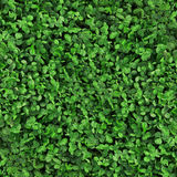 Texture sans couture de trèfle d'herbe verte Image libre de droits