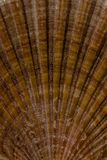 Texture of the scallop shell Royalty Free Stock Photos