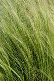 Texture Series - Green Grasses in the Wind. Green and gold grasses bent by the wind for a textured background natural image royalty free stock photos
