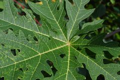 The texture and shape of papaya leaves stock photography