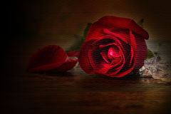 Texture of sigle red rose with ice on wooden table in vintage st Stock Photography