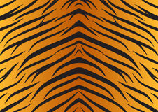 Texture skin tiger animals fur. Texture Royalty Free Stock Photo