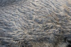 Texture of a skin of a wild boar Royalty Free Stock Photography