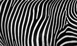 Texture of the skin of a zebra. Abstract pattern of mammal skin. strips and stains. black and white texture. Bewitching stripes of zebra. black and white stripes stock photos