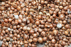 Texture of small bulbs for planting. Texture of small orange bulbs for planting Royalty Free Stock Images