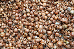 Texture of small bulbs for planting. Texture of small orange bulbs for planting Stock Photo