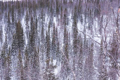 Texture of the snowy trees in winter Royalty Free Stock Images