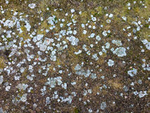 Texture of soil with moss and lichen Royalty Free Stock Photography