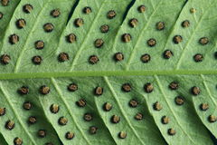 Leave texture of fern with spore Stock Photos