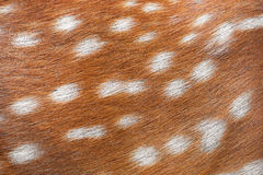 Texture of spotted deer fur Royalty Free Stock Image