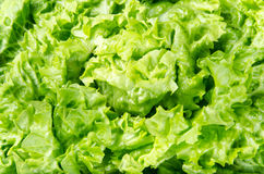 Texture and background of spring green lettuce leaves Royalty Free Stock Images
