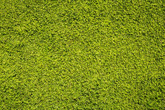 Texture of lush green leafs Royalty Free Stock Images