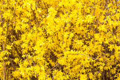 Texture of Spring yellow Forsythia europaea blossom Stock Photos