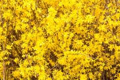 Texture of Spring yellow Forsythia europaea blossom Stock Photos