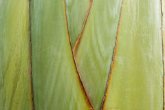 Texture stalk palm background. Texture of leaf stalk of  palm  used at background Royalty Free Stock Image