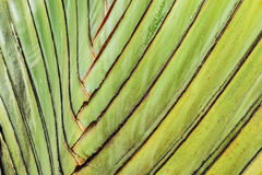 Texture stalk palm background. Texture of leaf stalk of  palm  used as background Royalty Free Stock Photography