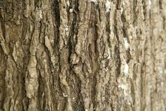 Texture of the stem of the tree - Salix Stock Photos