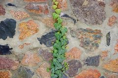 Texture of stone wall and bindweed branches with green leaves stock image