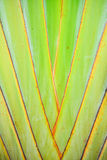 Texture and striped pattern of Traveler's tree (Ravenala madagas. Close-up Texture and striped pattern of Traveler's tree (Ravenala madagascariensis Stock Images