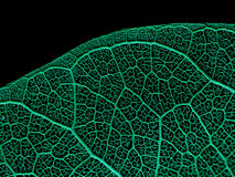 Texture or structure of a skeleton leaf. Stock Photography
