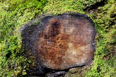 Texture of stump are tell more thing that you can imagine. Texture of stump he want to connection with the world. he tell you something.  in the forest of NZ on Royalty Free Stock Photo