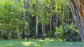 The texture of the summer beautiful green forest.  Stock Photo