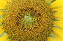 Texture of sunflower disk Stock Photography