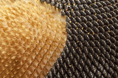 Texture of sunflower seeds Stock Image