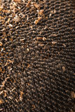 Texture of sunflower seeds. Black sunflower seeds, organic background. Royalty Free Stock Image