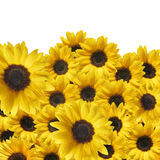 A texture of sunflowers with drops Royalty Free Stock Photos
