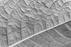 Texture surface leaf plant of gray color Royalty Free Stock Photos