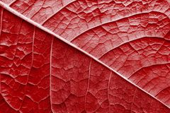 Texture surface leaf plant of red color Royalty Free Stock Images