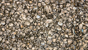 Texture of a surprising number river shells. Royalty Free Stock Images