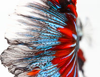 Texture of tail siamese fighting fish Royalty Free Stock Image