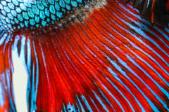 Texture of tail siamese fighting fish Stock Image