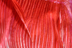 Texture of tail siamese fighting fish Stock Photography