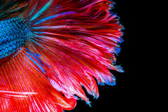 Texture of tail siamese fighting fish stock photos