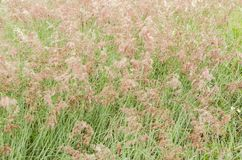 Seymour Grass Blossom Texture stock images