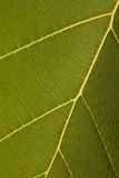 Texture of teak  leaf Royalty Free Stock Images