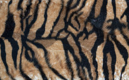 Texture tiger. Beautiful tiger fur colorful texture with orange beige yellow and black royalty free stock photo