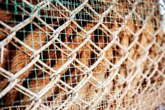 Texture of tiger in farm. Texture of tiger in farm with iron mesh background stock photo